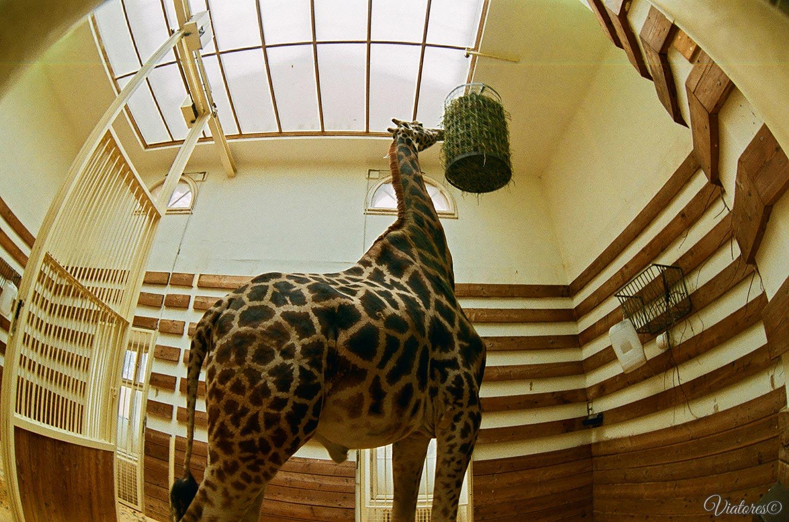 Жираф в зоопарке Шёнбрунн