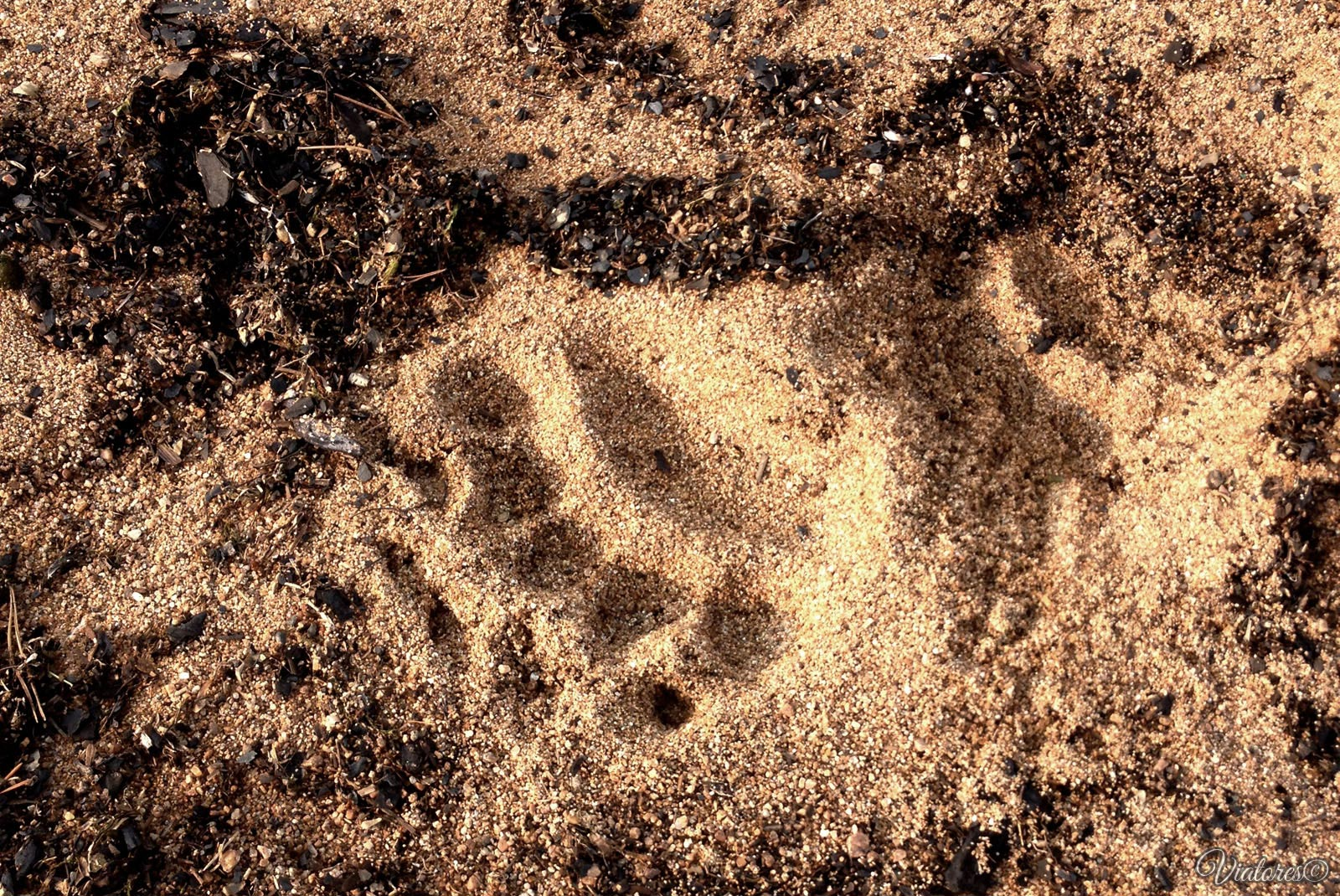 Baikal. Bear trail